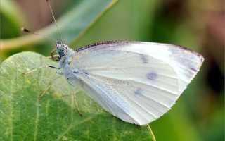 Бабочка капустница: описание, методы борьбы с капустной белянкой