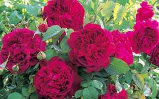 Особенности выращивания и описание английских роз