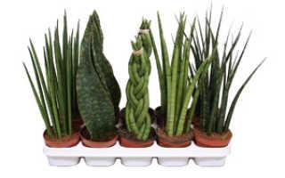 Цветок сансевиерия: описание, разновидности и уход в домашних условиях