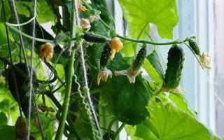 Как вырастить огурцы на подоконнике зимой: выбор сорта и уход