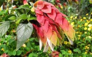 Уход в домашних условиях за цветком белопероне