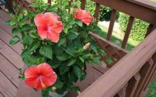 Гибискус, или китайская роза: как ухаживать за растением