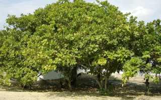 Как и где растёт кешью, как выглядят дерево и плоды