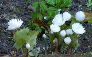Сангвинария махровая, канадская: описание, уход, посадка,