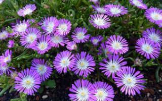 Посадка, уход и выращивание растения делосперма