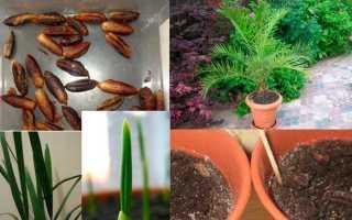 Выращивание финикового дерева из косточки дома