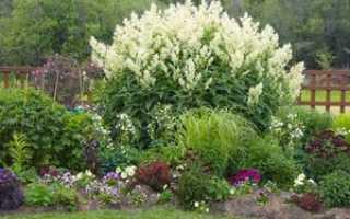 Растение горец: посадка и уход за кустарником