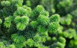 Хвойные деревья: названия и разновидности