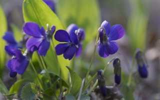 Как размножить садовые фиалки?