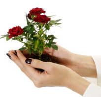 Как прорастить розу из букета и посадить в землю