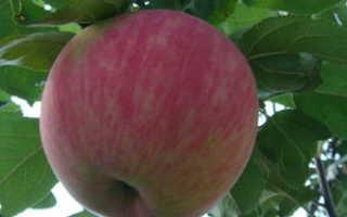 Сорт мельба, яблоня с карамельными плодами