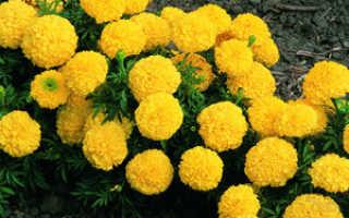 Тагетес прямостоячий: сорта, выращивание цветка и уход
