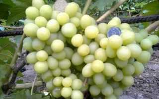 Характеристики и выращивание винограда сорта Валек
