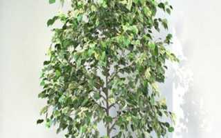 Что делать хозяину, если фикус Бенджамина сбрасывает листья
