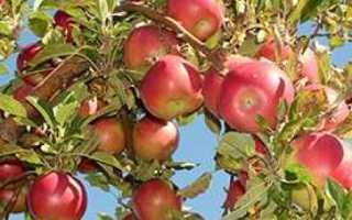 Характеристика яблони и описание яблок сорта Айдаред
