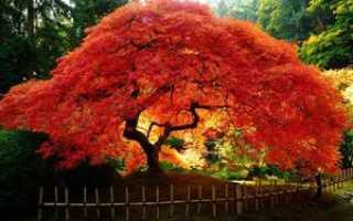 Японский красный клен: описание, выращивание на садовом участке
