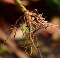 Стимуляторы корнеобразования растений