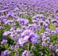 Как посеять сидерат фацелию и когда сажать семена весной и осенью