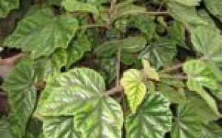 Виды бегонии с красными, зелеными и розовыми листьями