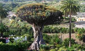 Где растет драконово дерево, его полезные свойства и применение