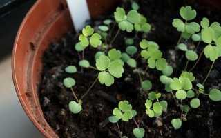 Особенности посадки и выращивания аквилегии из семян