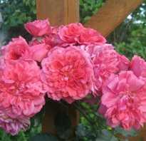 Выращивание и правила ухода за розой сорта Розариум Ютерсен