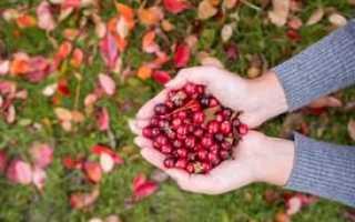 Клюква: описание ягоды, ареал ее произрастания и сезон сбора