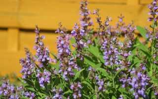 Шалфей лекарственный – трава благополучия и здоровья