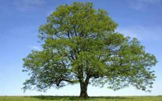 Плоды, семена, кора и листья ясеня: описание и применение