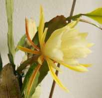 Эпифиллум — листовидный кактус