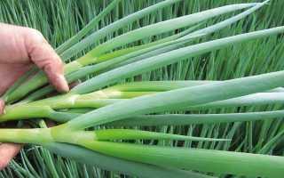 Выращивание лука-батуна, посадка культуры в открытый грунт и уход