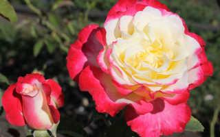 Описание и уход за сортом роз Дабл Делайт