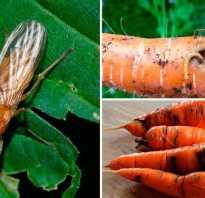 Как избавиться от морковной мухи и защитить грядки