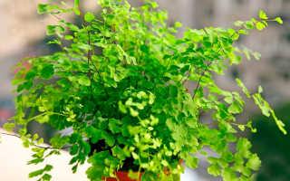 Венерин волос: описание растения и уход в домашних условиях