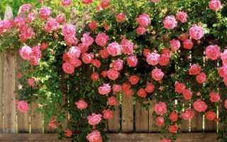 Какие бывают виды и сорта роз: классификация растения