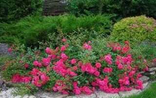 Выращивание почвопокровной ползучей и стелющейся розы