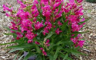 Выращивание, посадка и уход за многолетним пенстемоном