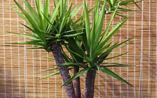 Комнатное растение юкка