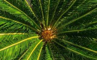 Комнатная пальма: виды и названия, выращивание и уход за цветком