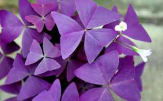 Кислица фиолетовая: выращивание и уход в домашних условиях