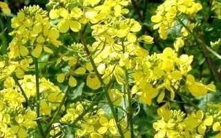 Технологии высева масличной редьки как удобрения-сидерата