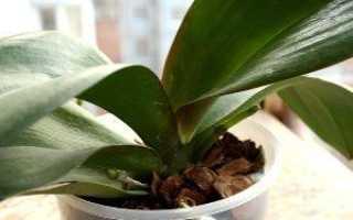 Орхидея фаленопсис отцвела: что делать с цветоносом дальше