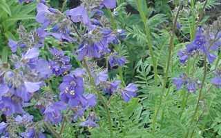 Растение с лечебными свойствами Голубая синюха