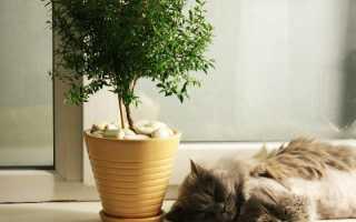 Цветок мирт обыкновенный — уход в домашних условиях