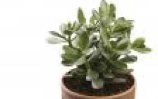 Как правильно посадить денежное дерево в домашних условиях