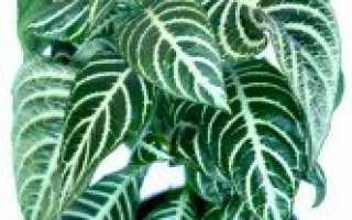 Афеландра — просто и со вкусом