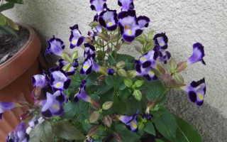 Торения (torenia): виды цветка, посадка и уход