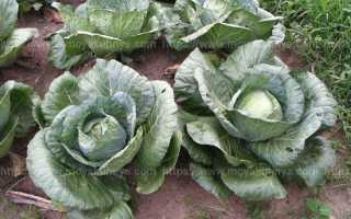Как сохранить свежую капусту до весны?