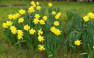 Нарцисс — виды, уход и выращивание