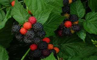 Особенности посадки, выращивания и ухода за черной малиной